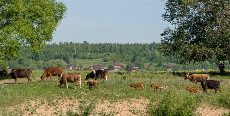 оптина пустынь коровы